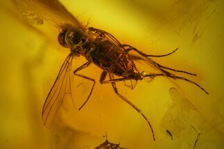 Detailed Fossil Fly (Diptera) In Baltic Amber For Sale, #142241