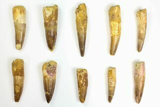 "Wholesale Lot: 2.2 to 3.4"" Bargain Spinosaurus Teeth - 10 Pieces For Sale, #141494"