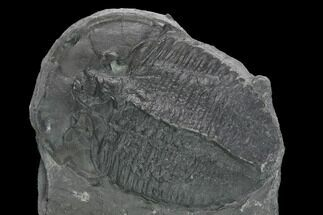 "Huge, 1.74"" Elrathia Trilobite Fossil - Utah  For Sale, #139574"