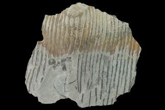 "2.9"" Pennsylvanian Horsetail (Calamites) Fossil - Kentucky For Sale, #142391"