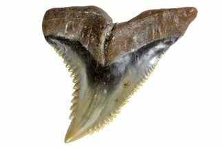 "Buy Serrated, 1.4"" Fossil Shark (Hemipristis) Tooth  - #142456"