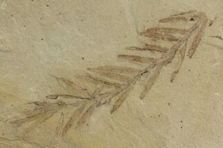 "Buy 1.8"" Dawn Redwood (Metasequoia) Fossil - Montana - #142537"