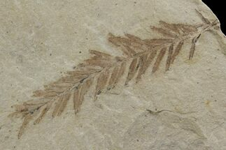 "1.9"" Dawn Redwood (Metasequoia) Fossil - Montana For Sale, #142538"
