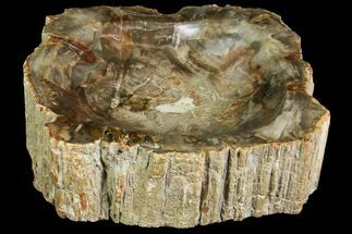 Araucaria (Conifer) - Fossils For Sale - #142806