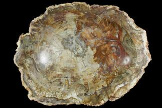 "12.3"" Colorful Polished Petrified Wood Dish - Madagascar For Sale, #142808"