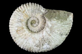 "Huge, 10.3"" Tractor Ammonite (Douvilleiceras) Fossil - Madagascar For Sale, #142946"