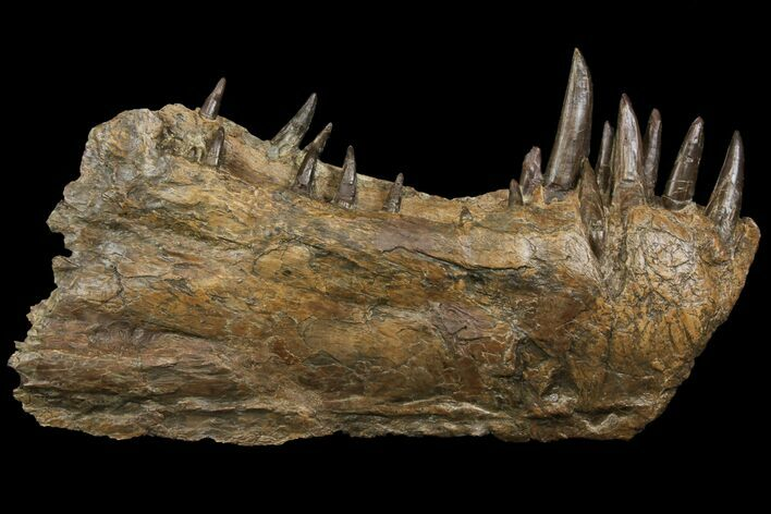"9.2"" Xiphactinus Lower Jaws - All Original Teeth!"