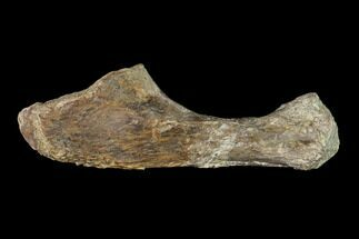 "5.1"" Fossil Amphibian (Eryops) Ulna Bone - Texas For Sale, #143489"