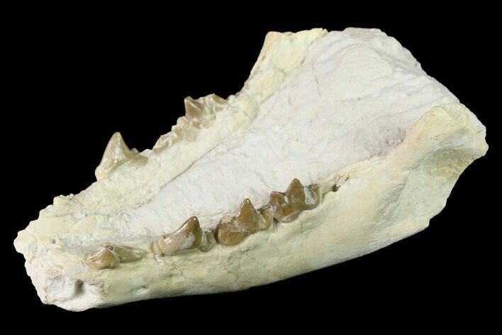 "Rare, 3.6"" Fossil Bear Dog (Daphoenus) Mandible - South Dakota"