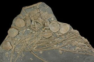 Leptopterigius quadrissicus  - Fossils For Sale - #144042