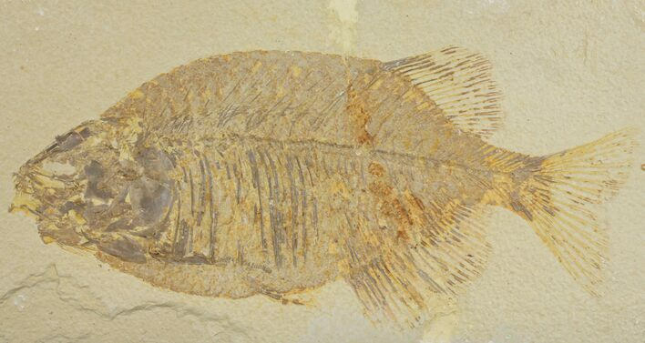 "9.1"" Uncommon Fish Fossil (Phareodus) - Wyoming"