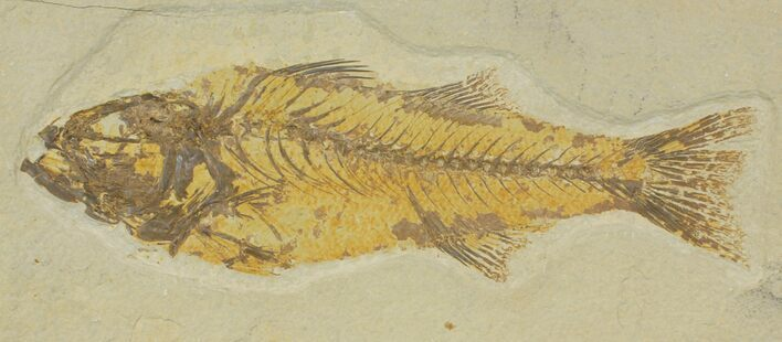 "11"" Uncommon Fish Fossil (Mioplosus) - Wyoming"