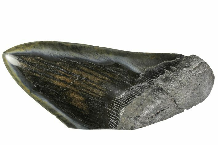 "5.63"" Polished, Fossil Megalodon Tooth ""Paper Weight"""