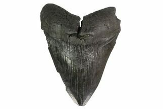 "Buy 5.23"" Fossil Megalodon Tooth - Georgia - #144319"