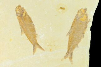 Knightia eocaena - Fossils For Sale - #144201