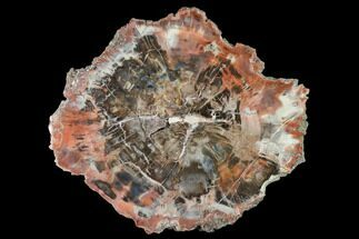 "Buy 8.1"" Polished Petrified Wood (Araucaria) Round - Arizona - #144244"