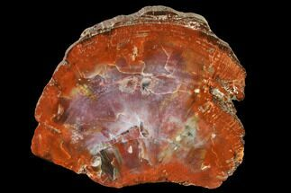 "Buy 8.5"" Polished Petrified Wood (Araucarioxylon) Round - Arizona - #144679"