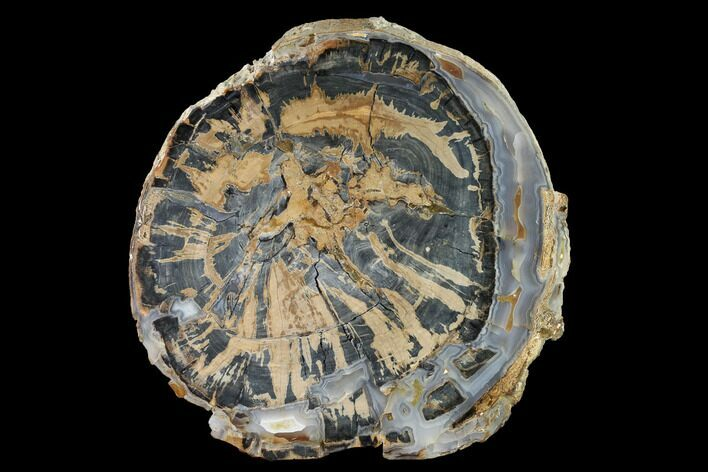 "9.2"" Petrified Wood (Schinoxylon) Round - Blue Forest, Wyoming"