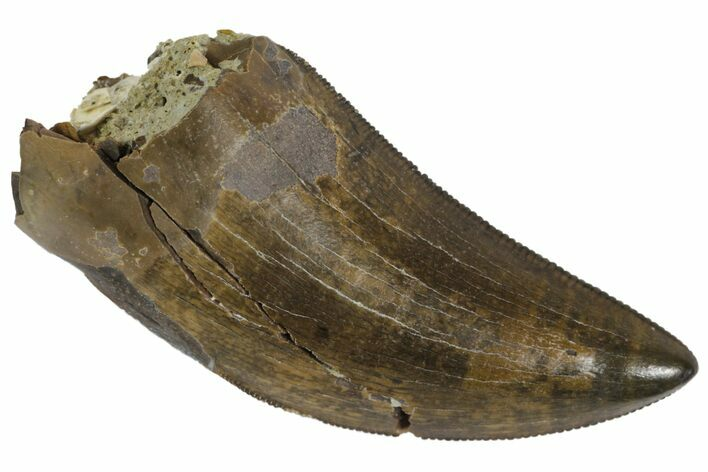 "Serrated, 1.41"" Tyrannosaur Tooth - Judith River Formation"