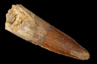 "2.08"" Spinosaurus Tooth - Real Dinosaur Tooth For Sale, #144983"