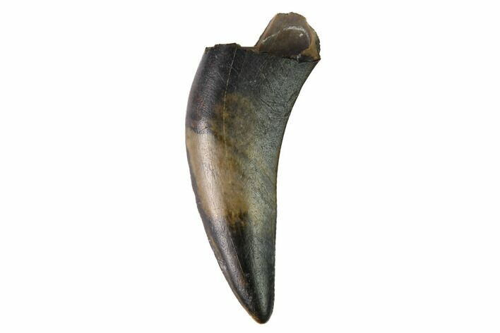 ".56"" Partially Rooted Raptor Tooth - Judith River Formation"
