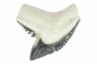 "1.05"" Fossil Tiger Shark Tooth - Bone Valley, Florida For Sale, #145151"