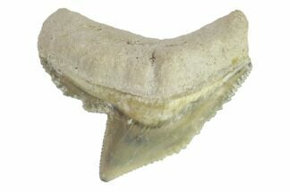 "Buy .95"" Fossil Tiger Shark Tooth - Bone Valley, Florida - #145162"