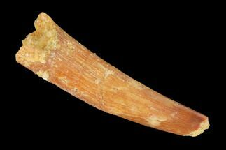"Buy Bargain, 1.15"" Fossil Pterosaur (Siroccopteryx) Tooth - Morocco - #145189"