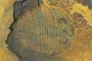 "Buy .85"" Ogygiocarella Trilobite Fossil - Wales, Great Britain - #144814"