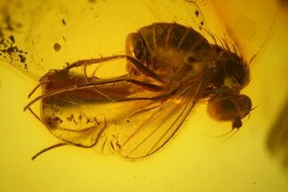 Detailed Fossil Fly (Diptera) In Baltic Amber For Sale, #145397