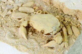 "Buy 2.95"" Fossil Crab (Potamon) Preserved in Travertine - Turkey - #145057"