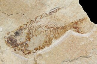 Diplomystus birdi - Fossils For Sale - #147195