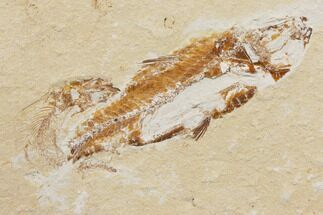 Nematonotus - Fossils For Sale - #147216