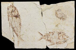 Two Cretaceous Fish (Primigatus) With Fossil Shrimp - Lebanon For Sale, #147233