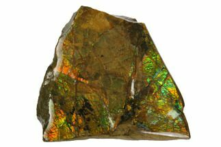 "1.8"" Iridescent Ammolite (Fossil Ammonite Shell) - Alberta, Canada For Sale, #147425"
