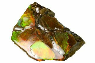 "1.6"" Iridescent Ammolite (Fossil Ammonite Shell) - Alberta, Canada For Sale, #147383"