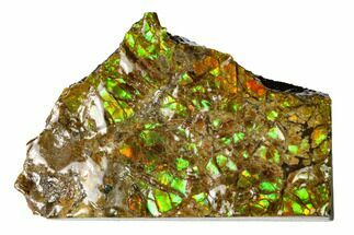 "1.65"" Iridescent Ammolite (Fossil Ammonite Shell) - Alberta, Canada For Sale, #147392"
