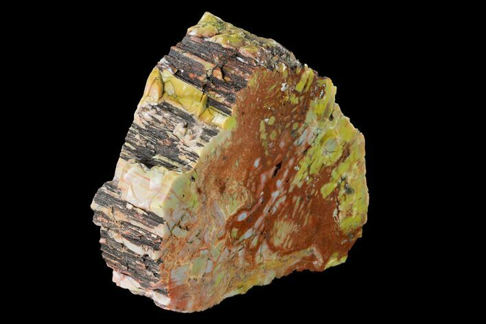 "6.7"" Colorful, Polished Petrified Wood (Araucarioxylon) - Arizona"