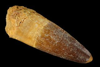 "Buy 2.3"" Spinosaurus Tooth - Real Dinosaur Tooth - #148921"