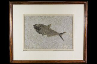 "9.7"" Framed Fossil Fish (Diplomystus) - Wyoming For Sale, #149762"