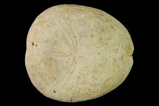 "Buy 2"" Jurassic Sea Urchin (Collyrites) Fossil - Great Britain - #147163"