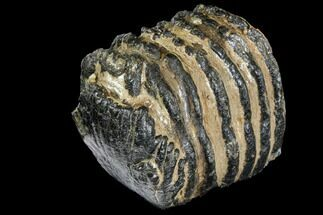 "6.2"" Partial Southern Mammoth Molar - Hungary For Sale, #149852"