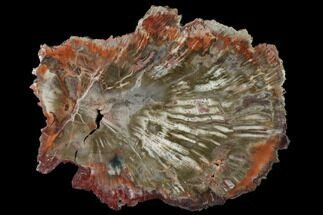 "9"" Polished Petrified Wood (Araucaria) Round - Arizona For Sale, #149912"