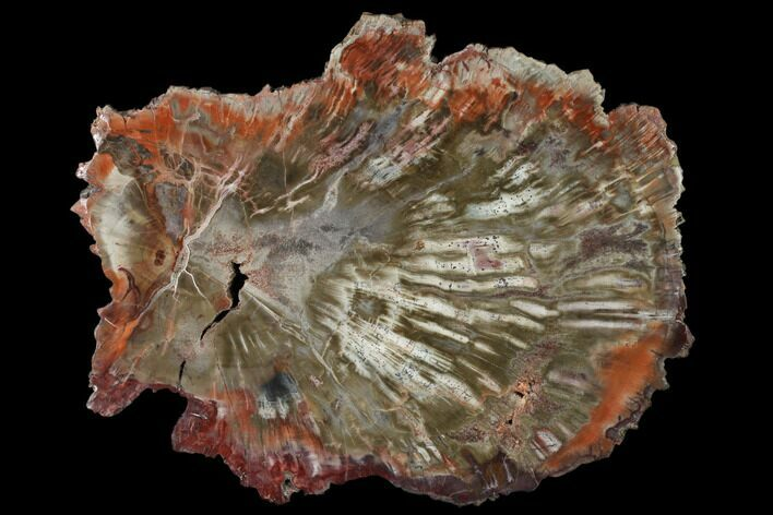 "9"" Polished Petrified Wood (Araucaria) Round - Arizona"