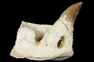 Buy Mosasaur (Prognathodon) Jaw Section With Unerupted Tooth - #150160