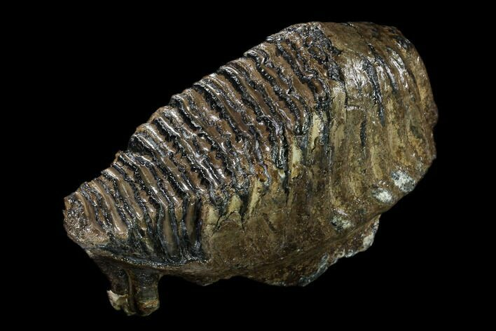 "9.8"" Fossil Woolly Mammoth Lower M3 Molar - North Sea Deposits"
