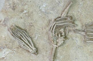 Buy Three Species of Crinoids on One Plate - Crawfordsville, Indiana - #150439