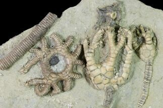 Buy Three Species of Crinoids on One Plate - Crawfordsville, Indiana - #150445