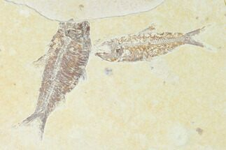 Buy Pair of Fossil Fish (Knightia) - Green River Formation - Wyoming - #150364