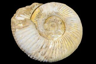 "5"" Jurassic Ammonite (Perisphinctes) Fossil - Madagascar For Sale, #152789"